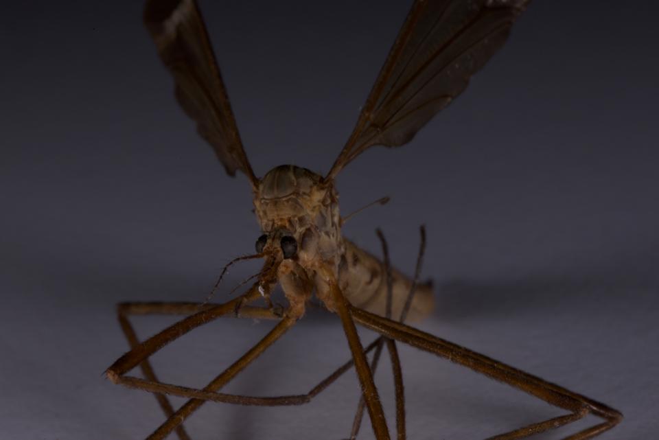Adult Crane Fly Photo Shoot 171 Macro Close Up